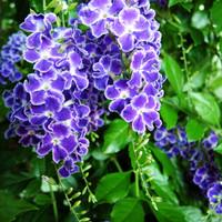 biji benih bunga penitian blue