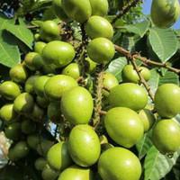 biji benih buah matoa hijau