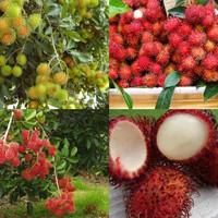 biji benih buah rambutan mix