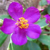 biji benih bunga talinium