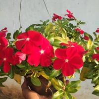 biji benih bunga vinca red