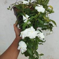 biji benih bunga vinca white