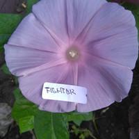 biji benih bunga morning glory ungu