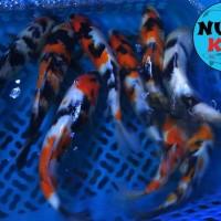 Ikan Koi Blitar Showa dan Shiro Grade A (Bisa Mix) 20-25 cm