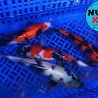 Ikan Koi Blitar Showa dan Shiro Grade A (Bisa Mix) 30-35 cm