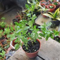 Benih/ Biji Tanaman Basil Ruku-ruku (Thulasi/Tulsi Leaf) Organik