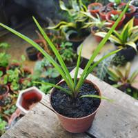 Bibit Tanaman Bunga Sedap Malam_Tuberose Flower