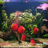 Ikan Discus Red Melon