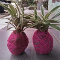 tanaman kokedama sederhana / lily paris kokedama /