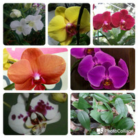bibit bunga anggrek bulan remaja