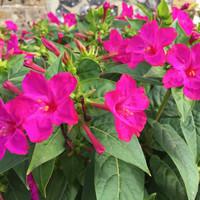 biji benih bunga kedrat pink