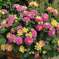 biji benih bunga hias lantana pink motif