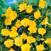 biji benih bunga kedrat kuning