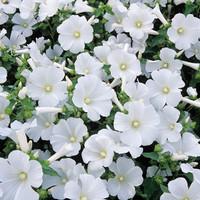 biji benih bunga kedrat putih