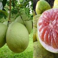 biji benih buah jeruk bali