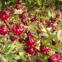biji benih bunga rosella [tanaman  herbal ]