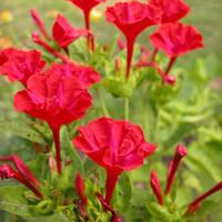 biji benih bunga kedrat merah
