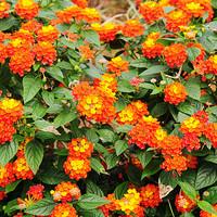 biji benih bunga hias lantana orange motif