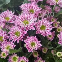 Tanaman Hias Bunga Krisan Pink Kancing - Bibit Bunga Krisan Pink