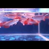 Jual Ikan Arwana 10 Cm Murah Harga Terbaru 2020 Tokopedia