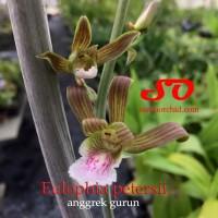 Eulophia petersii /  anggrek gurun
