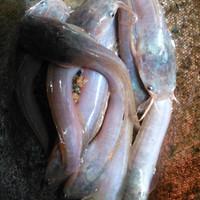 bibit ikan lele sangkuriang