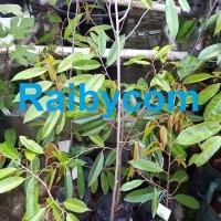 Durian Musang King Asal Bibit TRUBUS Jamin Asli Pohon Buah Musangking
