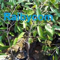 Durian Duri Hitam Asal Bibit TRUBUS Jamin Asli Pohon Ochee Black Thorn