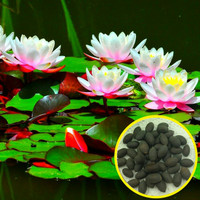 Benih bibit biji tanaman Bunga Teratai Lotus