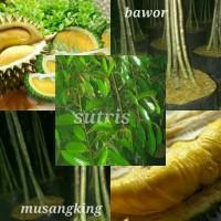 promo bibit durian musangking kaki 4 dan bawor kaki 4 tinggi 150cm