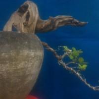 (caktus kaktus bonsai hias) mame anting putri
