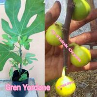 Bibit Benih Pohon buah Tin