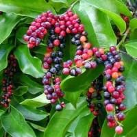 biji benih buah buni