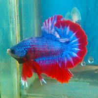 Jual Ikan Cupang Hmpk Maskot Kota Bekasi 22bettafish Tokopedia