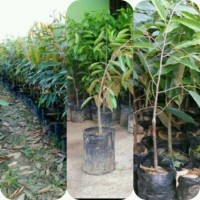 Paket 3 Bibit Durian Montong, Musangking dan Bawor