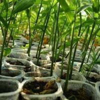 Bibit Kebun sehat Tanaman Pohon Jahe Merah Herbal