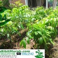 10 Bibit Pohon Mahoni Siap Tanam