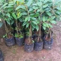 Bibit Durian Kumbokarno Unggulan Varietas Unggul