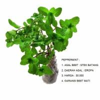 Bibit Peppermint