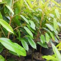 Bibit Durian Kumbo Karno Unggul, Perpaduan Durian Lokal dan Montong
