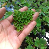 Salvinia molesta Tanaman air/tanaman apung (sejenis eceng gondok)