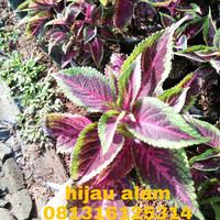 tanaman miana redgreen