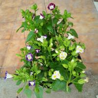 tanaman gantung teronia