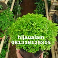 tanaman gantung lumut hias / lumut ambon