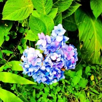 NEW bibit bunga hortensia bunga bokor