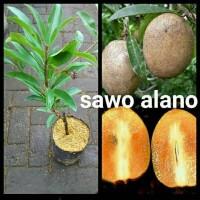 Cepat Berbuah !! Bibit Tanaman Buah Sawo Alano Super Murah