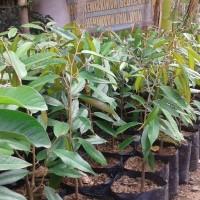 Tanaman Bibit Durian Petruk, Varietas Durian Lokal Super Unggul