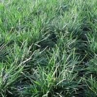 Bibit Pot Hias Bonsai Caktus) Tanaman Rumput Kucai Bangkok