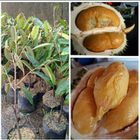 Murah 3 Bibit Durian Oche Duri Hitam Okulasi