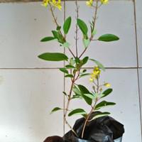 Tanaman hias bunga hujan enak